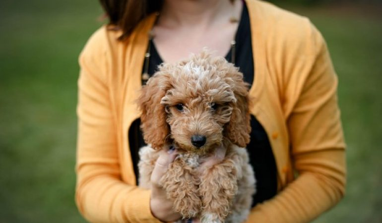 How Much Does a Goldendoodle Cost?