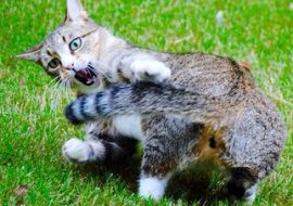 Why Do Cats Chase Their Tail
