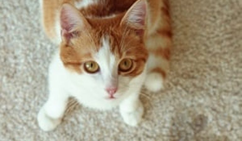 How to Remove Cat Urine from Carpet?