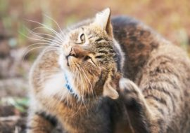 Why Do Cats Scratch Their Ears?
