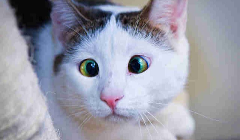 Cross Eyed Cats, Why it What it is?