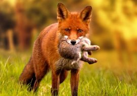 Do Foxes Eat Cats