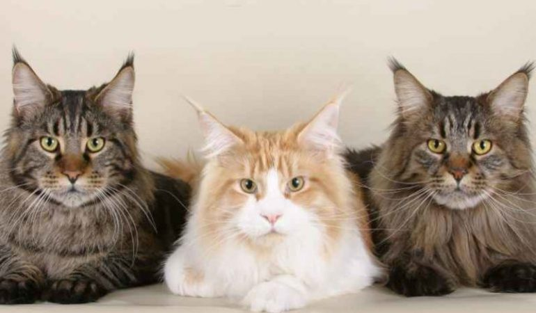 Differences Between Maine Coons and Regular Cats